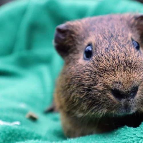 Wombat -  Guinea Pig