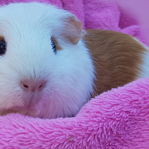 Petal -  Guinea Pig