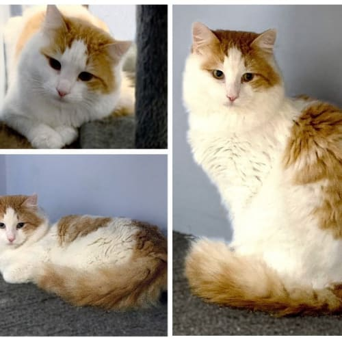 3411 – Tinkle - Domestic Medium Hair Cat