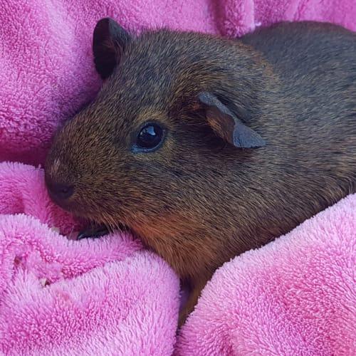 Coco -  Guinea Pig