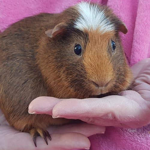 Florette -  Guinea Pig