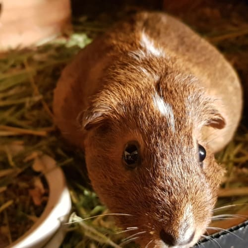 Lucky Star -  Guinea Pig