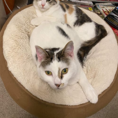Harmony & Cora - Domestic Short Hair Cat