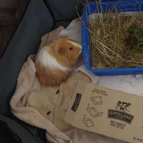 Mikey and Stan -  Guinea Pig