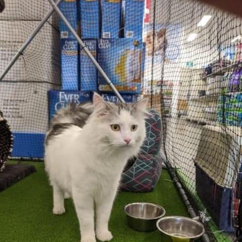 Bert - Visit Me at PETstock Balcatta! - Domestic Long Hair Cat