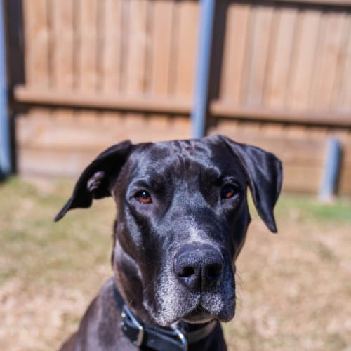 Tore ~ 2yr Old Great Dane X - Great Dane Dog
