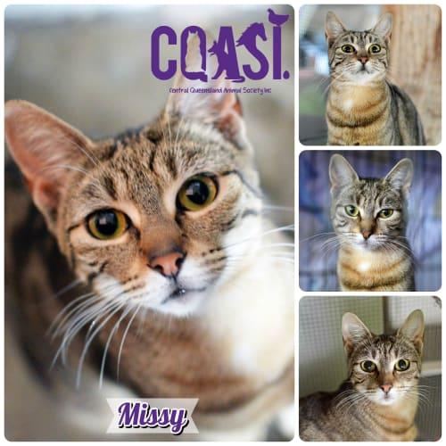 Missy - Domestic Short Hair Cat