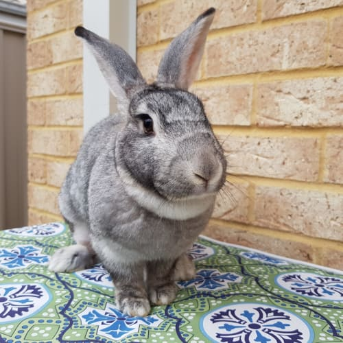 Montana *On Trial* - Flemish Giant Rabbit