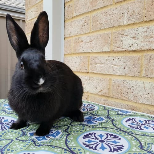 Harrison *On Trial* - Dwarf Rabbit