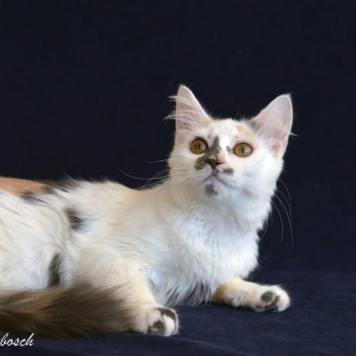 Cosmo - Ragdoll Cat
