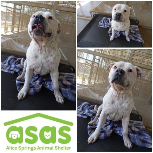Oliver  DG20-397 - Staffordshire Bull Terrier Dog