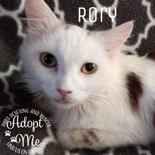 Rory - Domestic Medium Hair Cat