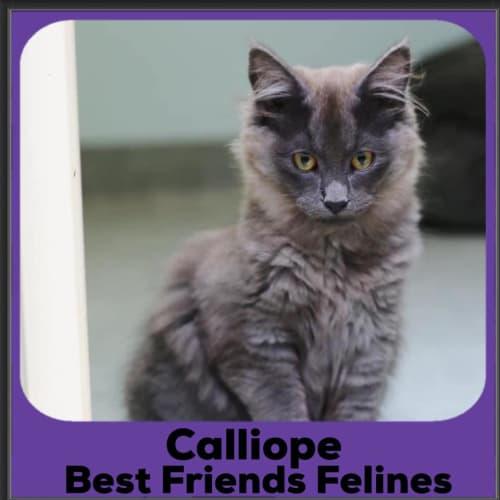 Calliope  - Manx Cat