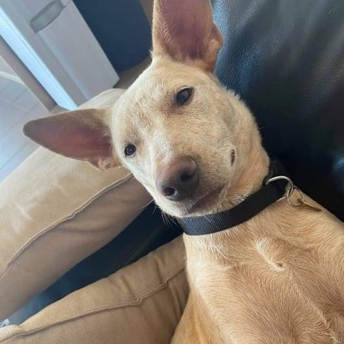 Opal - Blue Heeler x Mixed Breed Dog