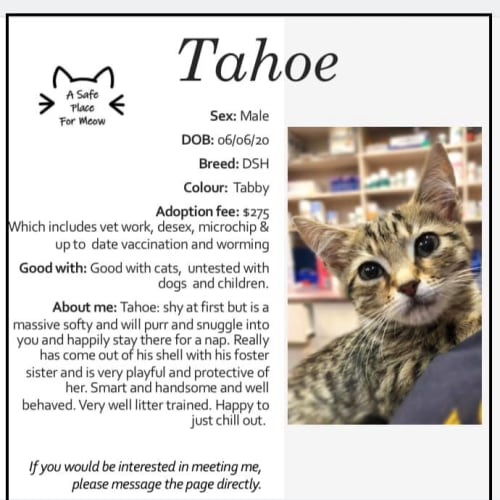 Tahoe - Domestic Short Hair Cat