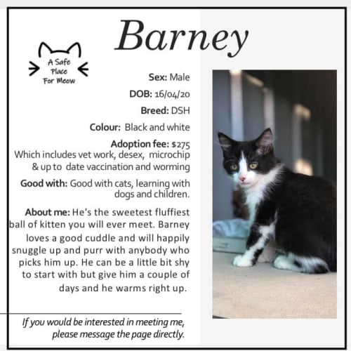 Barney - Domestic Short Hair Cat