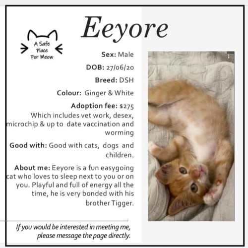 Eeyore - Domestic Short Hair Cat