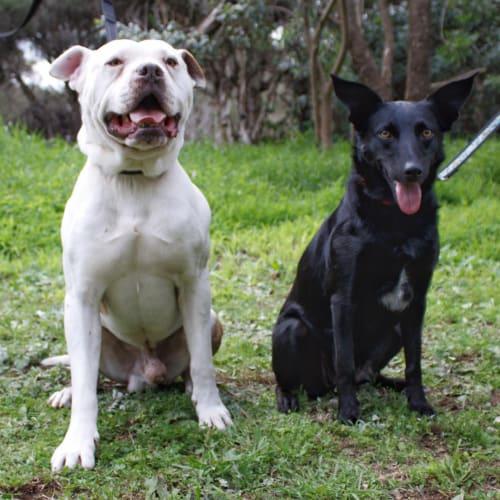 Ollie + Bettsie - Boxer x American Staffordshire Terrier x Kelpie Dog