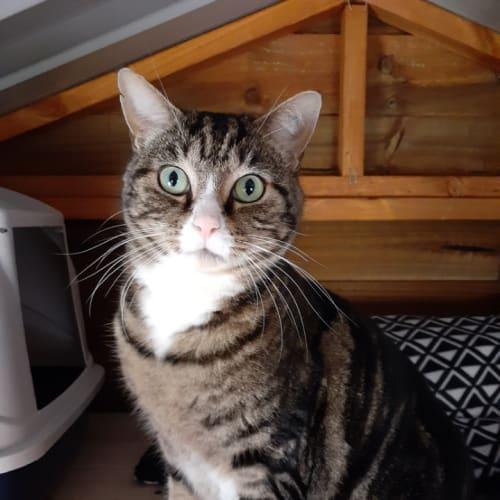 Bow & Butch - Domestic Short Hair Cat