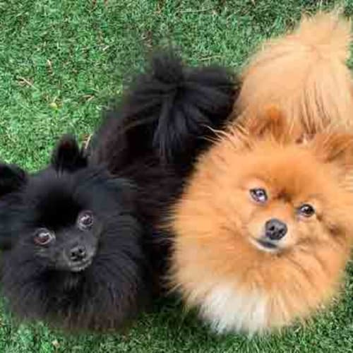 Marley and Bella Zinfandel - Pomeranian Dog