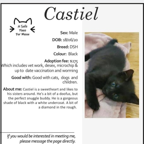 Castiel - Domestic Short Hair Cat