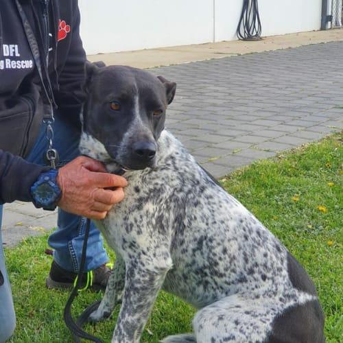 Kaya DL2529 - Blue Heeler Dog