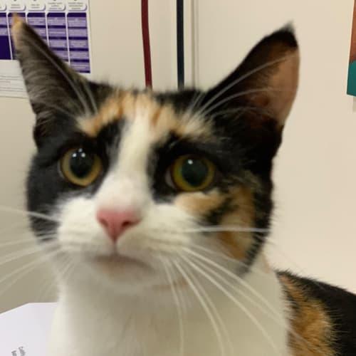 Titania - Domestic Short Hair Cat