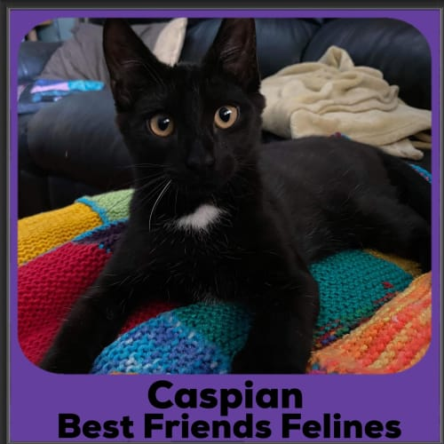 Caspian  - Domestic Short Hair Cat