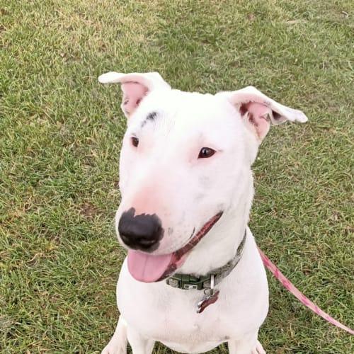 Zara - Bull Terrier Dog