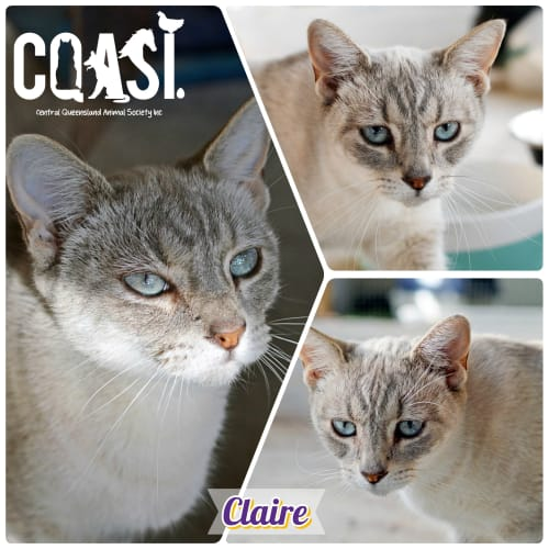 Claire - Siamese Cat