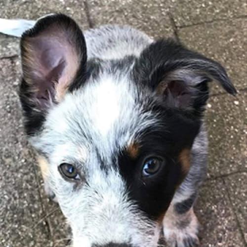 Snowy - Australian Cattledog