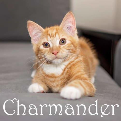 Charmander - Domestic Short Hair Cat