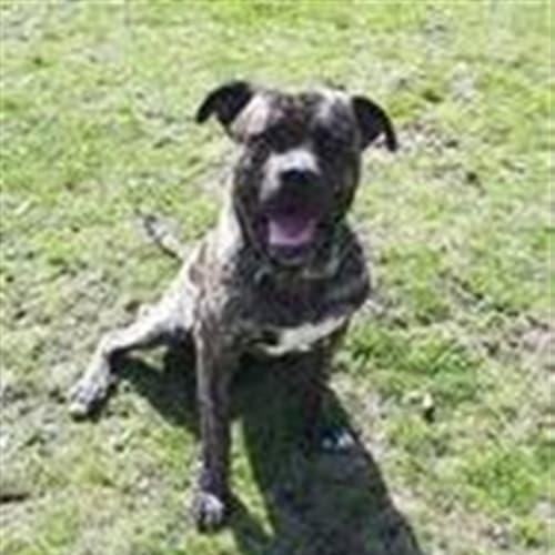 Max - Bullmastiff Dog