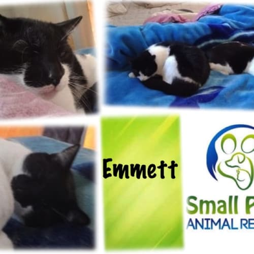 Emmett - Domestic Short Hair Cat