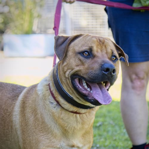 Alfie - Cross Misc, Large Dog