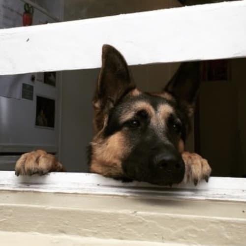 Mia  - German Shepherd Dog