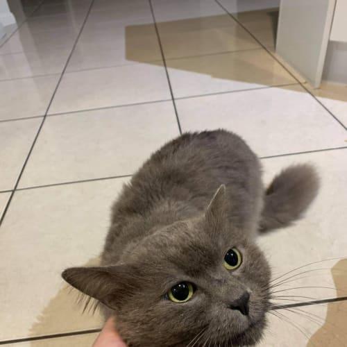 Talouse - Domestic Medium Hair Cat