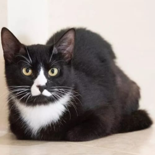 3179 - Sky - Domestic Short Hair Cat