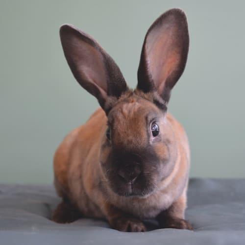 Snickers - Rex Rabbit