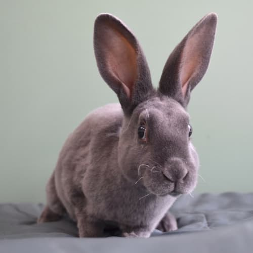 Willow - Rex Rabbit