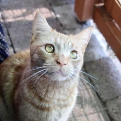 Ginger Meggs ~ 3yr Old DSH - Domestic Short Hair Cat