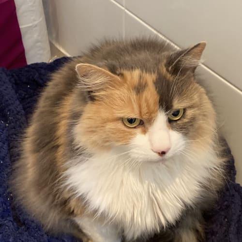 Lana  - Domestic Long Hair Cat