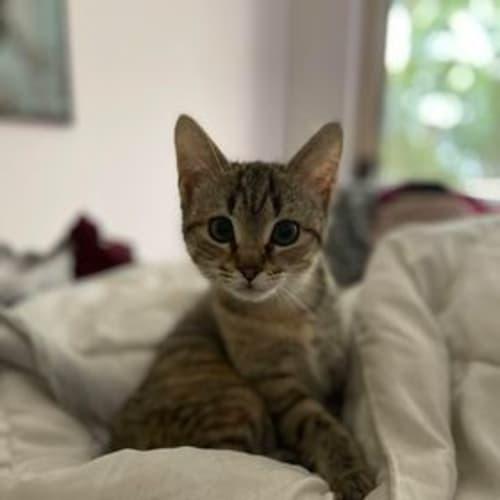 Fury - Domestic Short Hair Cat