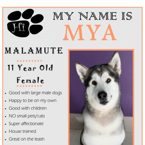 Mya - Alaskan Malamute Dog