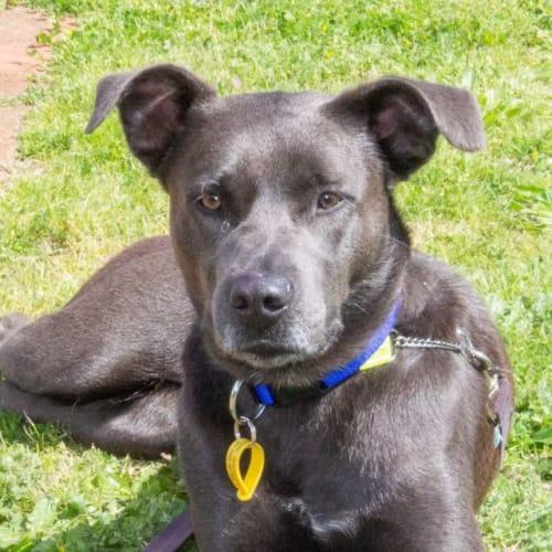 Roger - Staffordshire Bull Terrier Dog