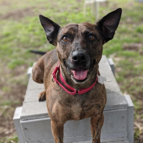 Ruby - Staffy Dog