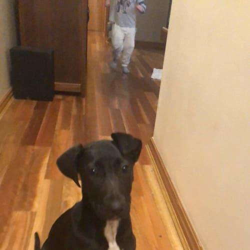 Roxie  - Bull Arab x Great Dane Dog