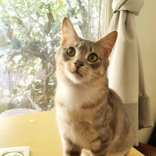 Melvin ❤ - Domestic Short Hair Cat