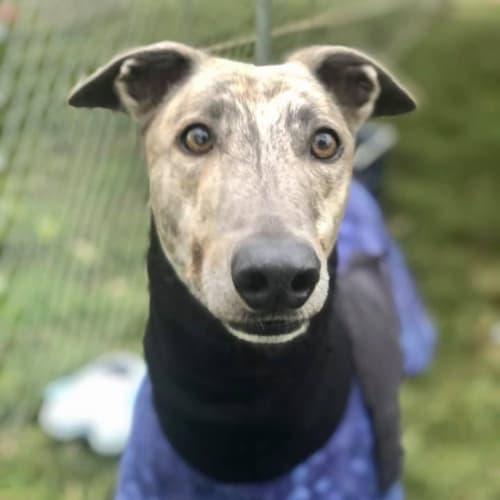 Chester - Greyhound Dog