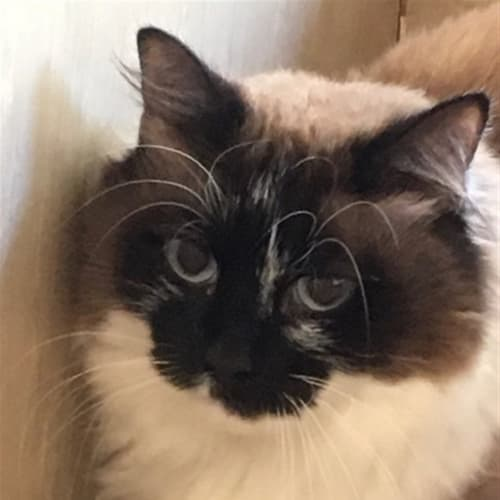 Little Puss - Domestic Long Hair Cat